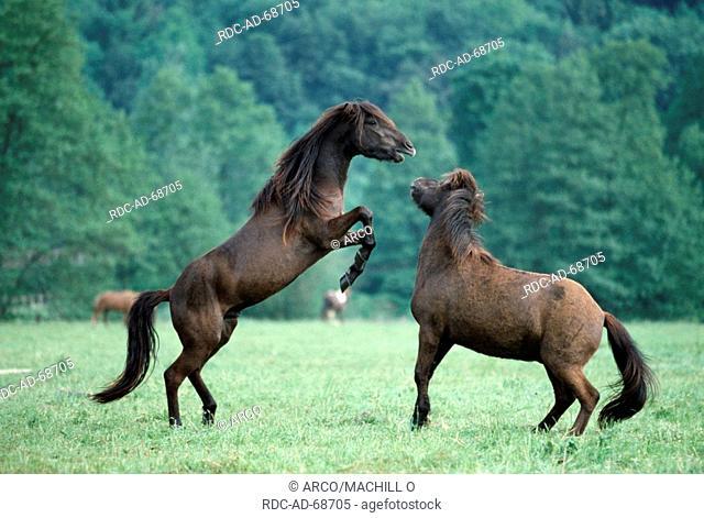 Islandic Horses, stallions