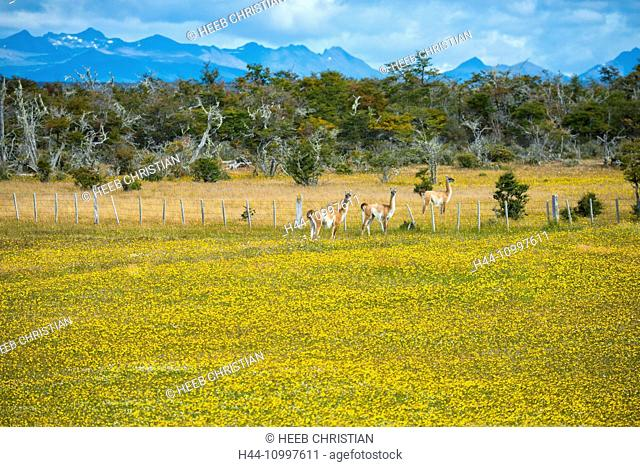 South America, Chile, Tierra del Fuego, Guanacos in flower filed