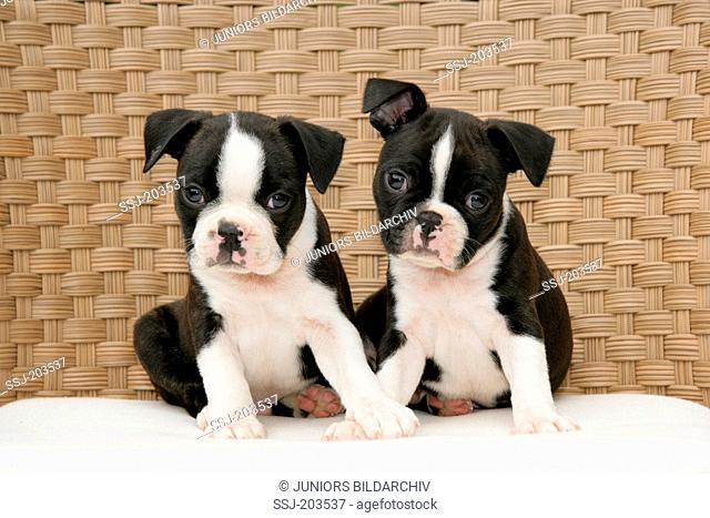 Boston Terrier. Two puppies sitting on agarden bench. Germany