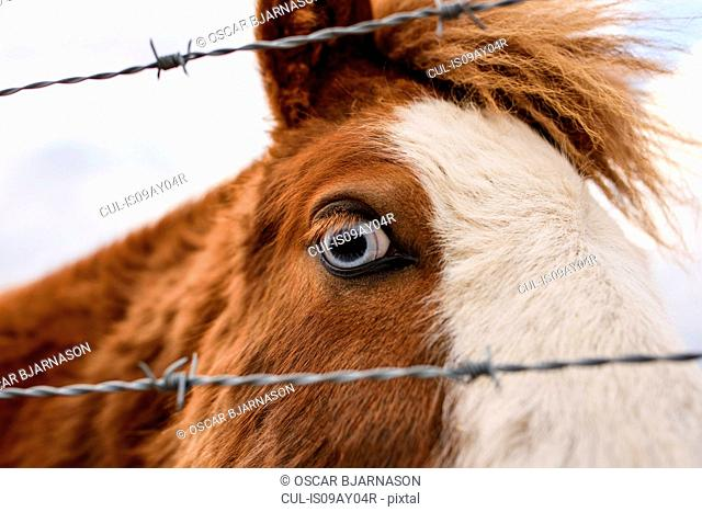 Icelandic horse, close-up, Fludir, Iceland