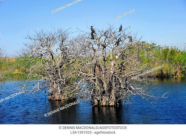 Anhinga in Tree Trail Everglades National Park FL US Wildlife Eco System Nature