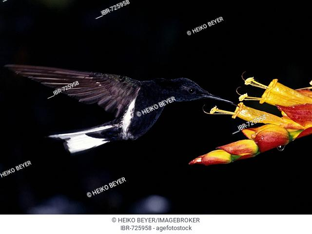 Black Jacobin hummingbird (Florisuga fusca) near Santa Teresa, Espírito Santo State, Brazil, South America