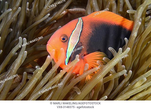 Tomato anemonefish, Amphiprion frenatus, Verde Island, Batangas, Philippines, Pacific