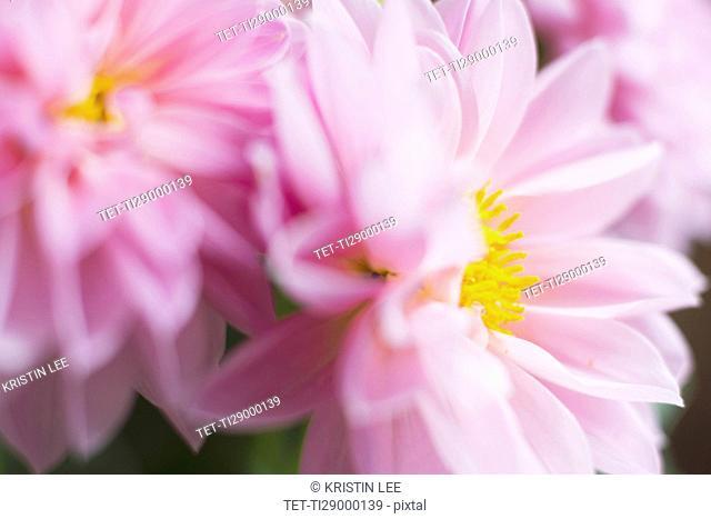 Studio shot of pink dahlias in selective focus
