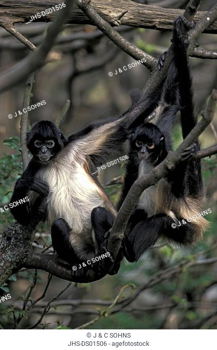 Spider Monkey,Ateles geoffroyi,South America,Central America,adults on tree