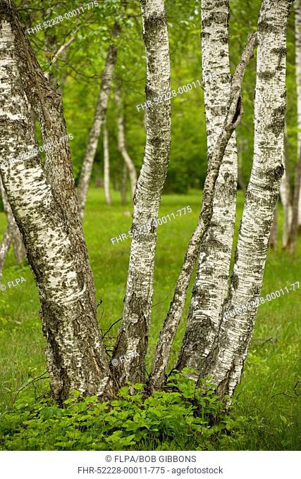 Downy Birch Betula pubescens coppiced trunks, in woodland habitat, Laelatu Wooded Meadow, Puhtu-Laelatu Reserve, Estonia, spring