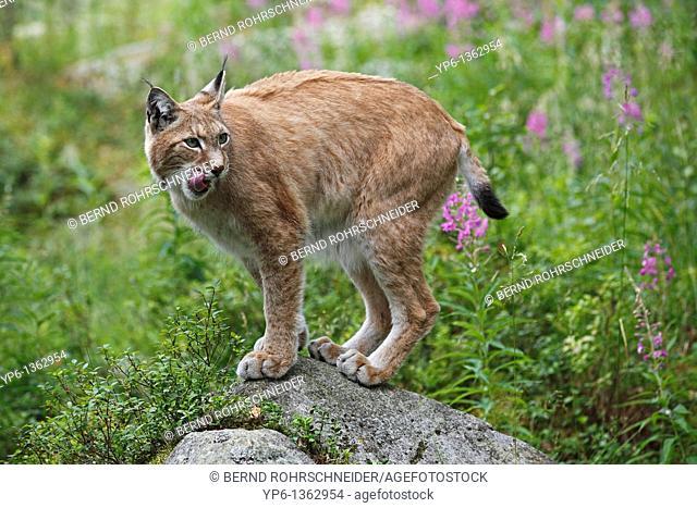 Eurasian Lynx Lynx lynx standing on rock, Finland
