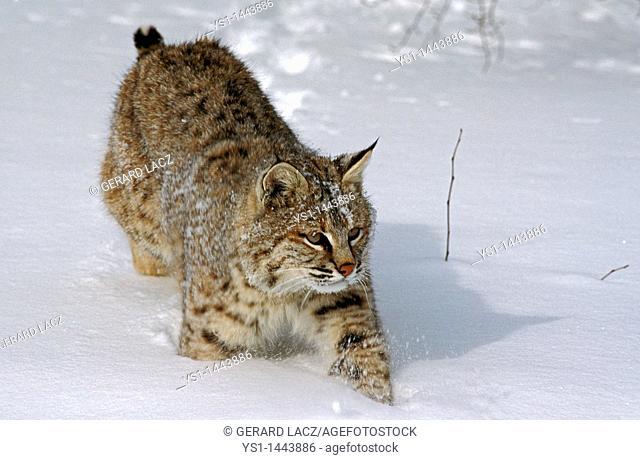 BOBCAT lynx rufus, ADULT WALKING THROUGH SNOW, CANADA