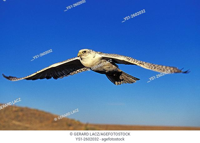 Gyrfalcon, falco rusticolus, Adult in Flight, Canada
