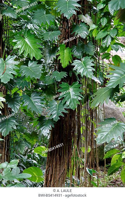 Philodendron lacerum (Philodendron lacerum), with creeps overgrown tree, Seychelles, Mahe