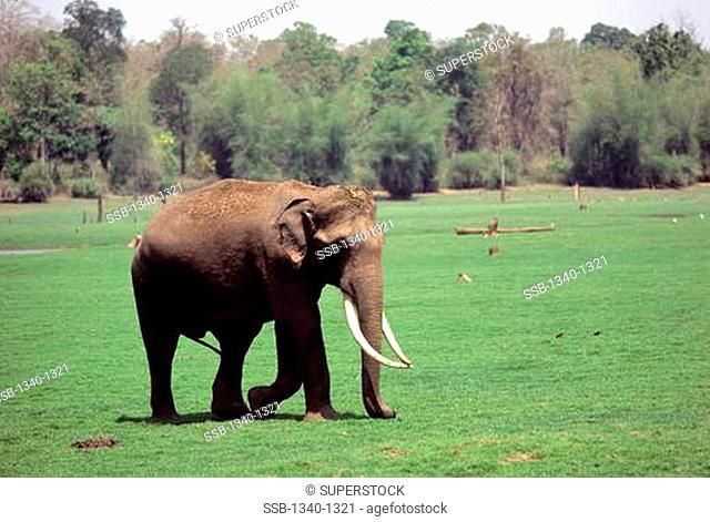 Indian elephant Elephas maximus indicus walking in a field, Kabini, Karnataka, India