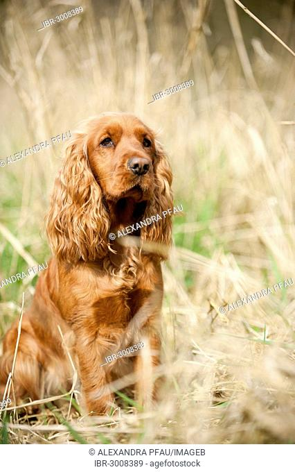 Cocker Spaniel, dog sitting