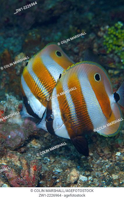 Pair of Orange-banded Coralfish (Coradion chrysozonus), Nudi Falls dive site, Lembeh Straits, Sulawesi, Indonesia