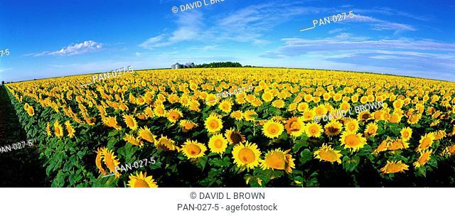 Field of Sunflowers, Kansas, USA