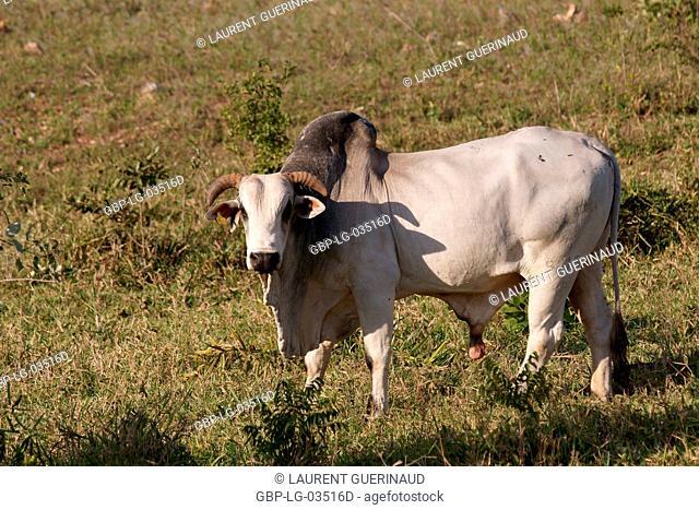 Ox, Animal, Pantanal, Mato Grosso do Sul, Brazil