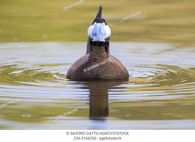 White-headed Duck (Oxyura leucocephala), front view of a male displaying in a lake