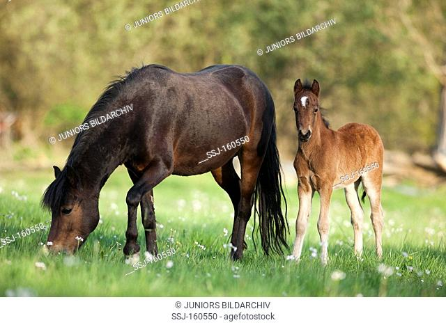 Dartmoor Pony horse and foal on meadow