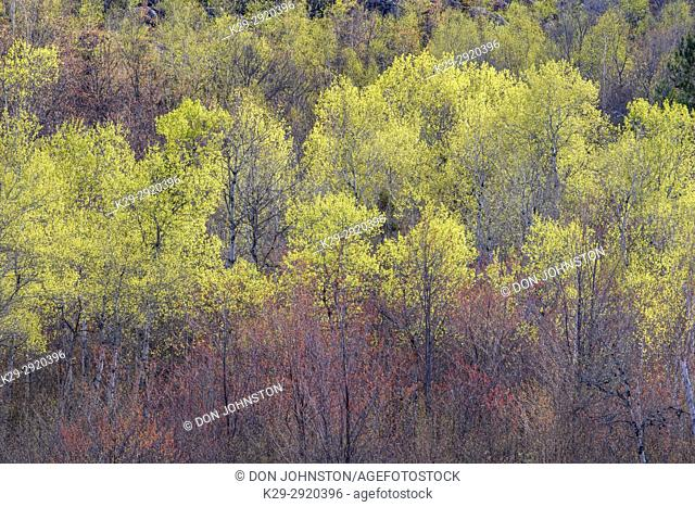 Spring foliage in a mixed forest of aspen, birch and willow, Greater Sudbury, Ontario, Canada