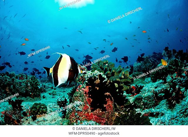 Moorish Idol in Coral Reef, Zanclus cornutus, North Ari Atoll, Maldives