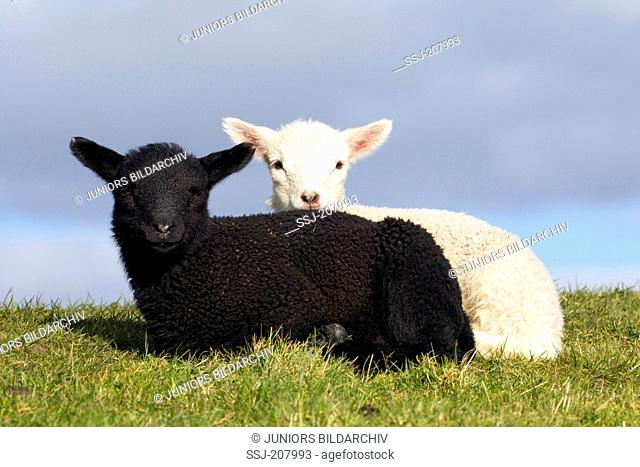 Domestic Sheep. Black and white lamb lying on a dyke. Germany