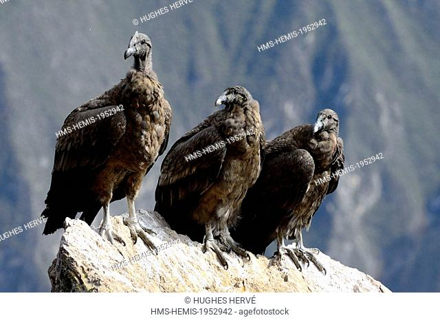 Peru, Arequipa Province, Colca Canyon, the Condor's Cross (Cruz del Condor), place for watching Condors