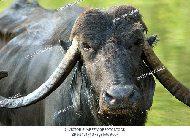 Water buffalo (Bubalus bubalis). Hiran river. Gir Lion Sanctuary and National Park. Gujarat. India
