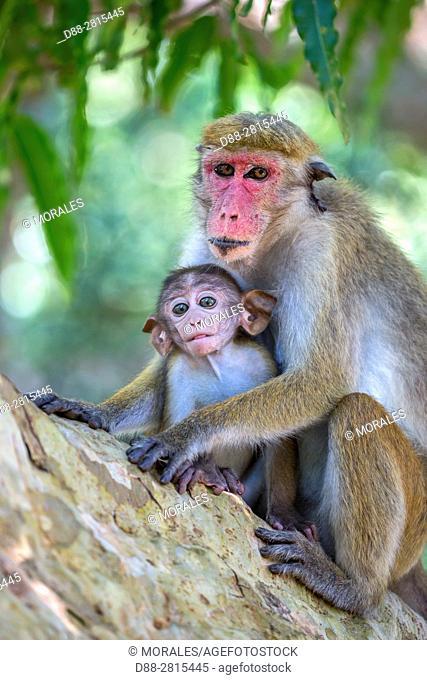 Sri Lanka, Yala national park, Toque macaque (Macaca sinica), female and baby