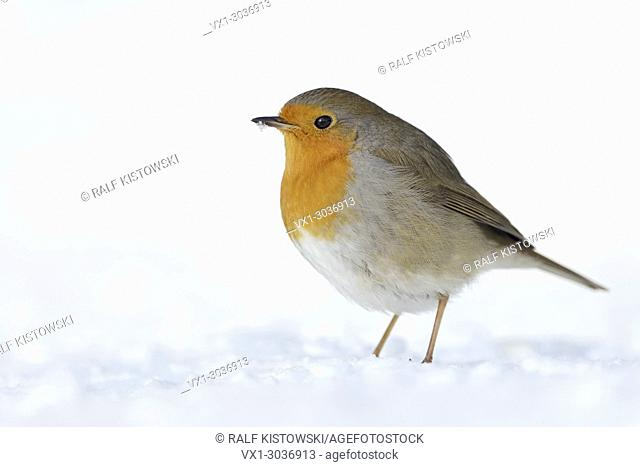 Beautiful Robin Redbreast ( Erithacus rubecula ) sitting in snow on the ground, fluffy plumage, cold winter, wildlife, Europe
