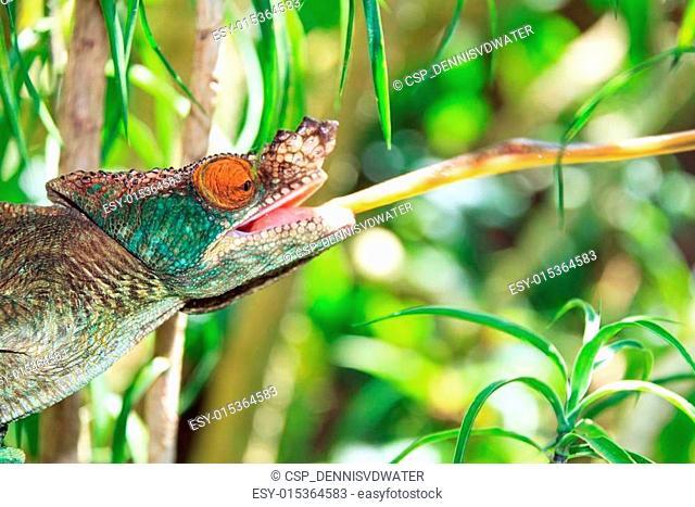 Striking Parsons chameleon