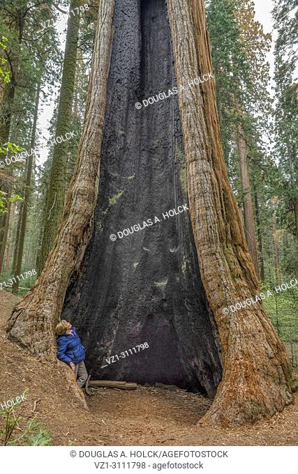 Giant Sequoia Tree, Sequoiadendron giganteum, hallowed by fire. Sequoia NP USA