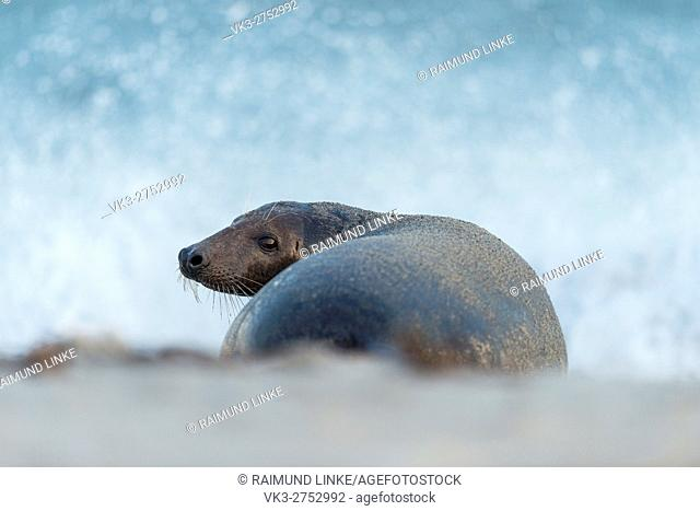 Grey Seal, Halichoerus grypus, Female, Europe