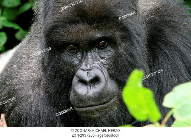 Berggorilla (Gorilla gorilla beringei), Virunga Berge, Volcano national park, Ruanda Mountain Gorilla, Virunga Volcanoes Mountains, Volcano National Park