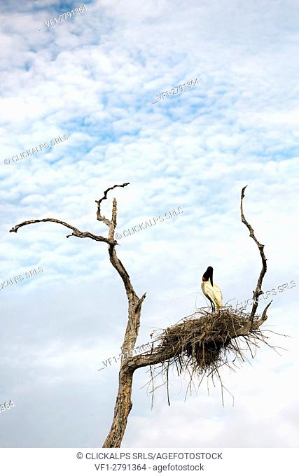A jaribu stork in its nest on a dead tree in the northern part of the transpantaneira road. Mato Grosso do Sul; Brazil