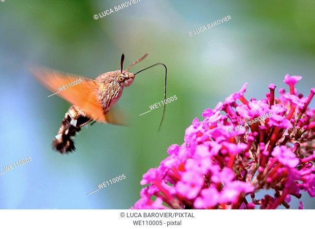 Macroglossum stellatarum - A bug very similar to a hummingbird