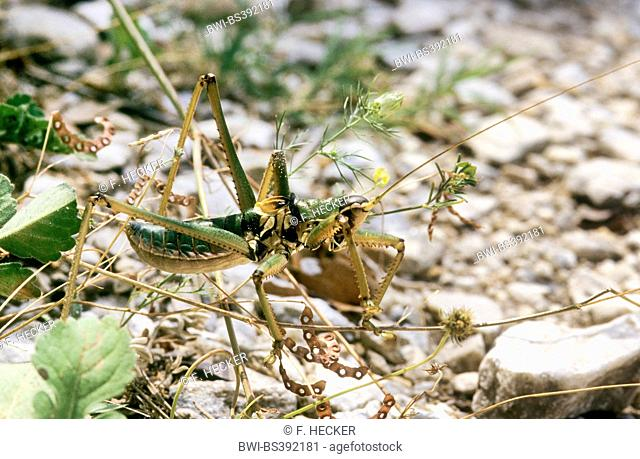 Predatory Bush-Cricket, Predatory Bush Cricket (Saga hellenica), male, Greece