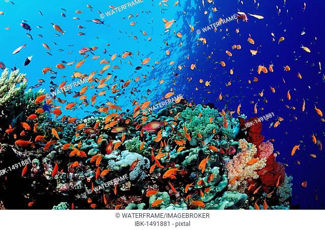 Colorful coral reef with lyretail coralfish or goldfish (Pseudanthias squamipinnis), Safaga, Red Sea, Egypt