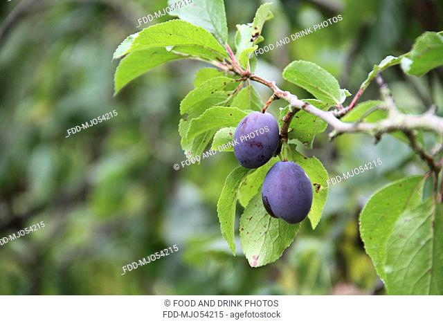 Damson fruits on a tree