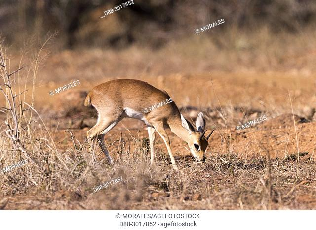 Africa, Southern Africa, South African Republic, Mala Mala game reserve, Steenbok (Raphicerus campestris), adult male