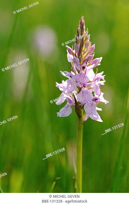 Flowering Heath Spotted-orchid