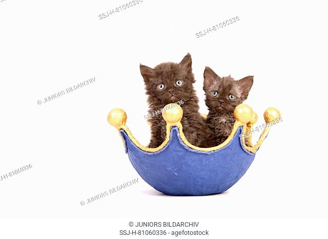 Selkirk Rex. Pair of kittens (6 weeks old) in a dish, shaped like a crown. Studio picture against a white background. Germany