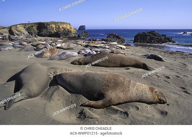 Elephant seals on beach, San Simeon, California, USA