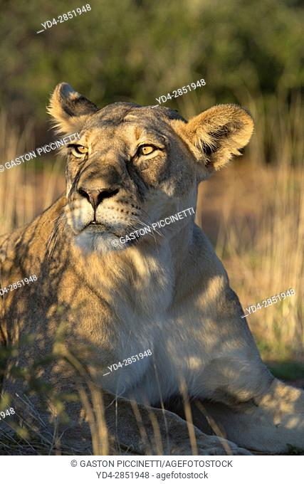 African lion (Panthera leo) -Female, in the bush, Kgalagadi Transfrontier Park, Kalahari desert, South Africa/Botswana