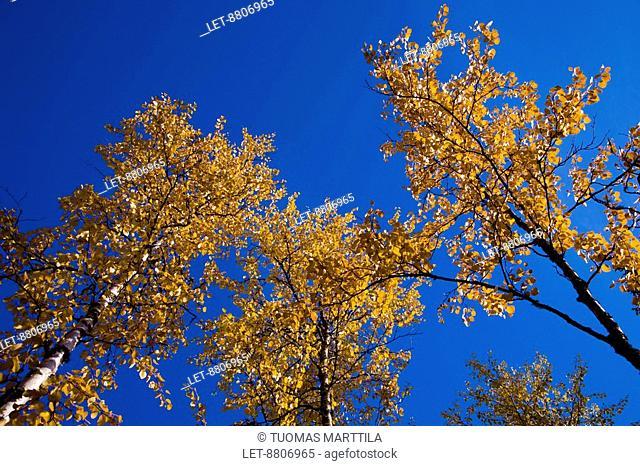 Birch trees Betula in the autumn