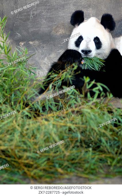 "Giant Panda Bear in Shanghai, China. The panda (Ailuropoda melanoleuca, lit. """"black and white cat-foot""""; dàxióngmāo, also known as panda bear or the giant..."