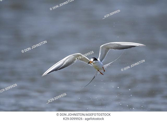 Common tern (Stern hirundo) Hovering and diving for fish, Rollover Pass, Bolivar Penninsula, , USA