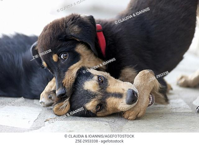 Two fighting puppies