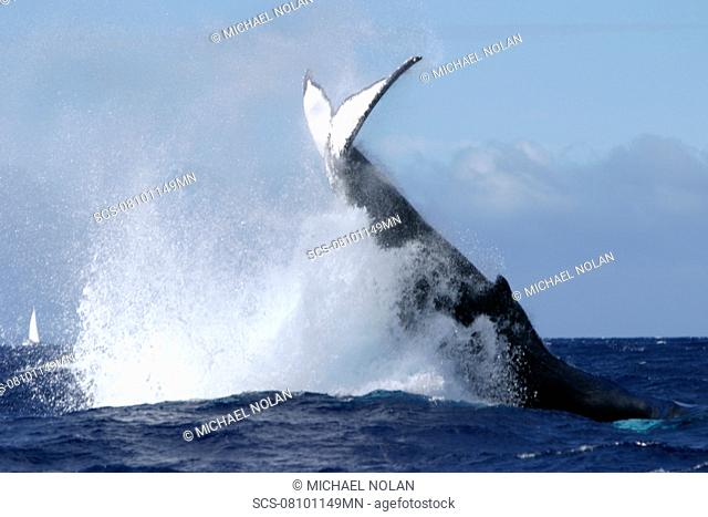 Adult Humpback Whale Megaptera novaeangliae tail-lobbing in the AuAu Channel, Maui, Hawaii, USA
