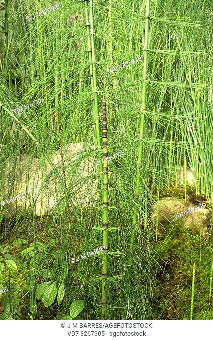 Giant horsetail (Equisetum giganteum) is a horsetail native to tropical America