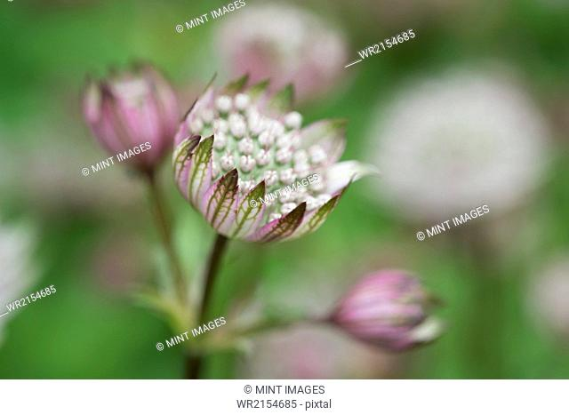 An astrantia flowering plant in a cottage garden with delicate flowerheads