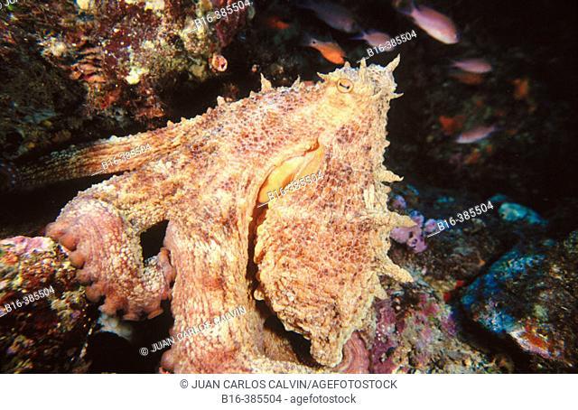 Common Octopus (Octopus vulgaris), Mediterranean Sea